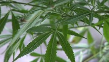 marijuana-pot-plants-leaves